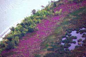 Purple Loosestrife Infestation